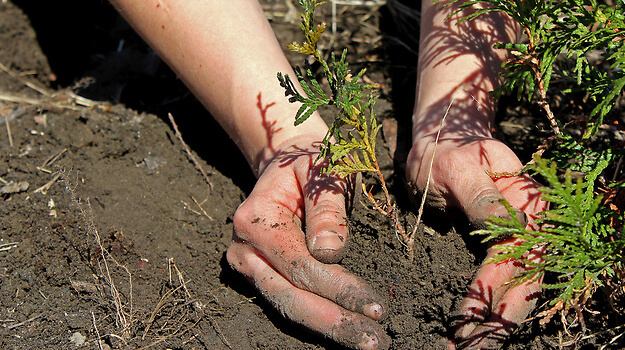 a pair of hands planting a small sapling
